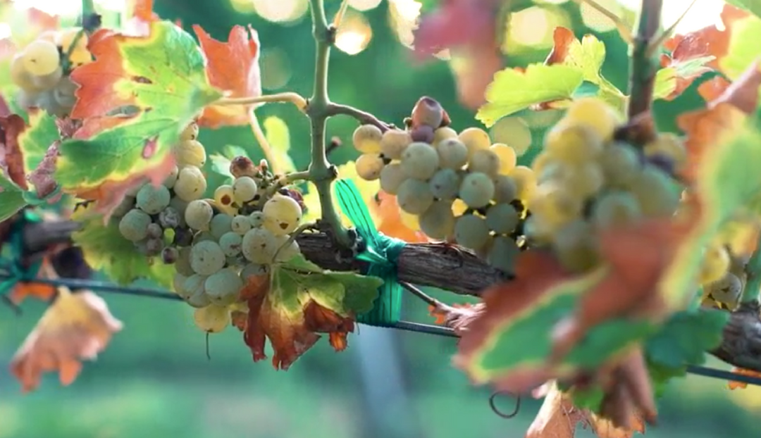 2017 TEXAS WINE GRAPE HARVEST ON TRACK TO BE EARLY